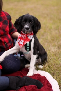 AKC Female English Springer Spaniel looking to breed after she is a year old Listing Image Thumbnail