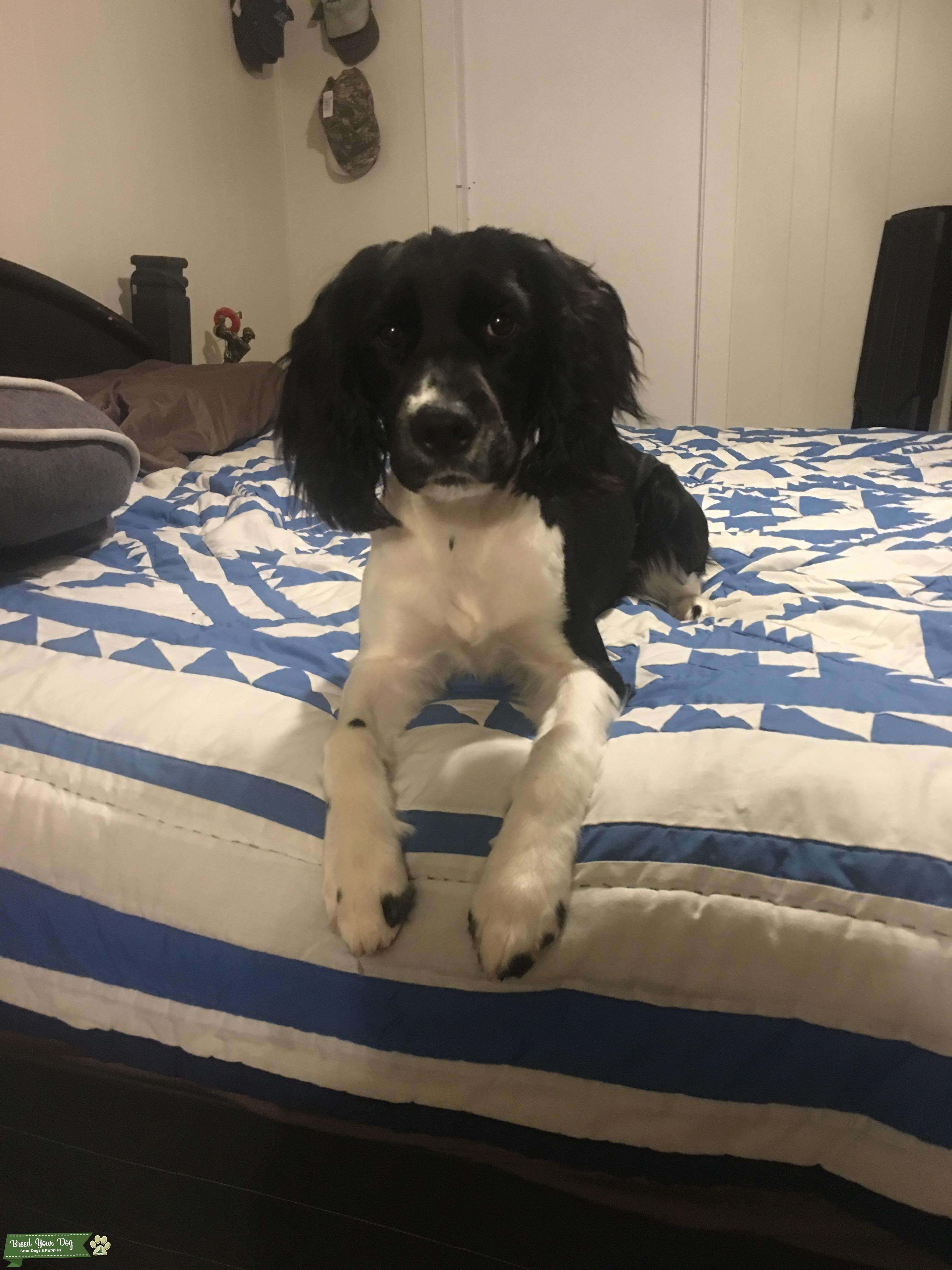 AKC Female English Springer Spaniel looking to breed after she is a year old Listing Image Big