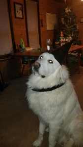 White Great Pyrenees Listing Image