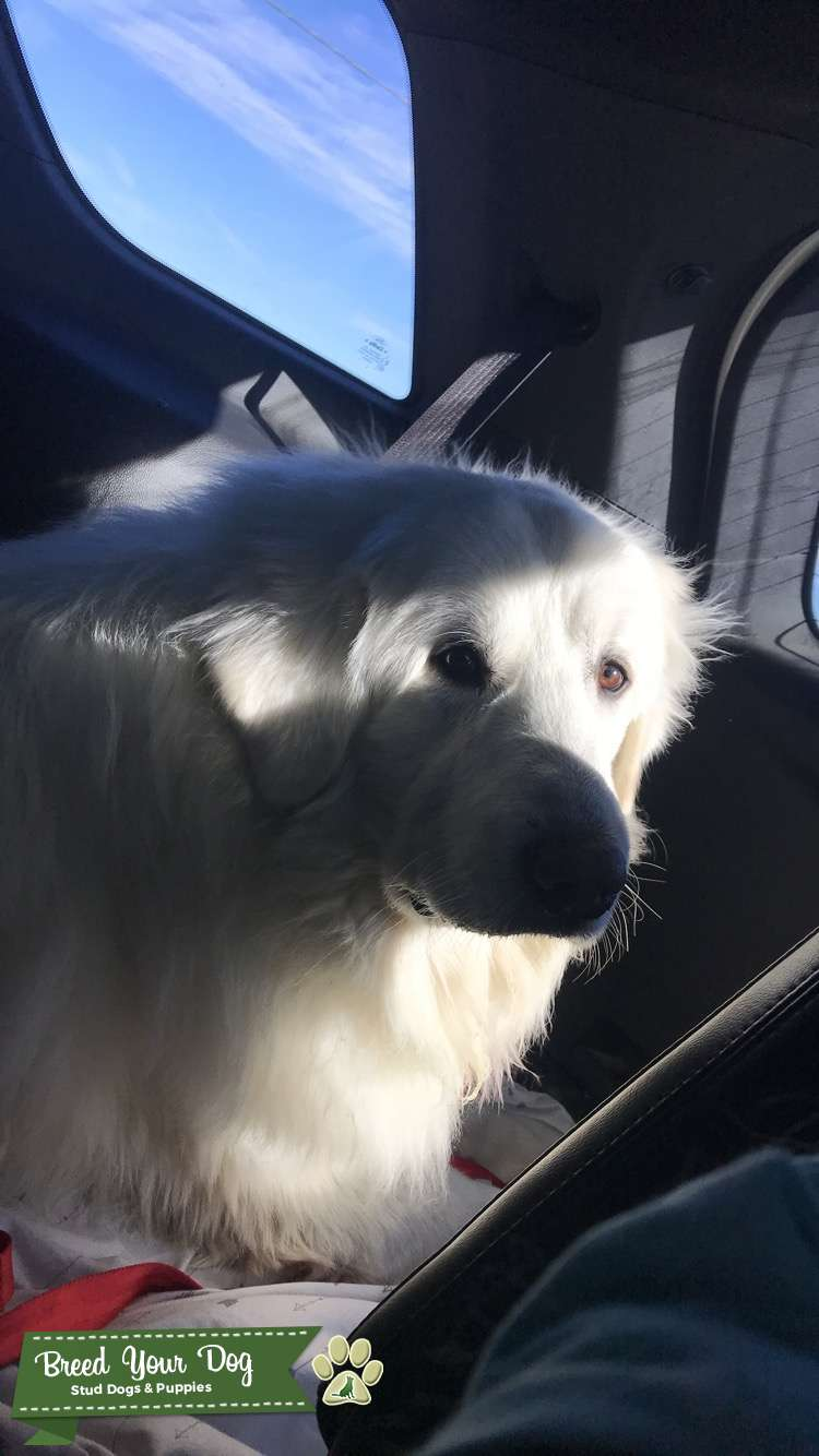White Great Pyrenees Listing Image Big