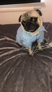 Fawn pug Listing Image Thumbnail