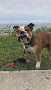Purebread English Bulldog Male Stud Listing Image Thumbnail