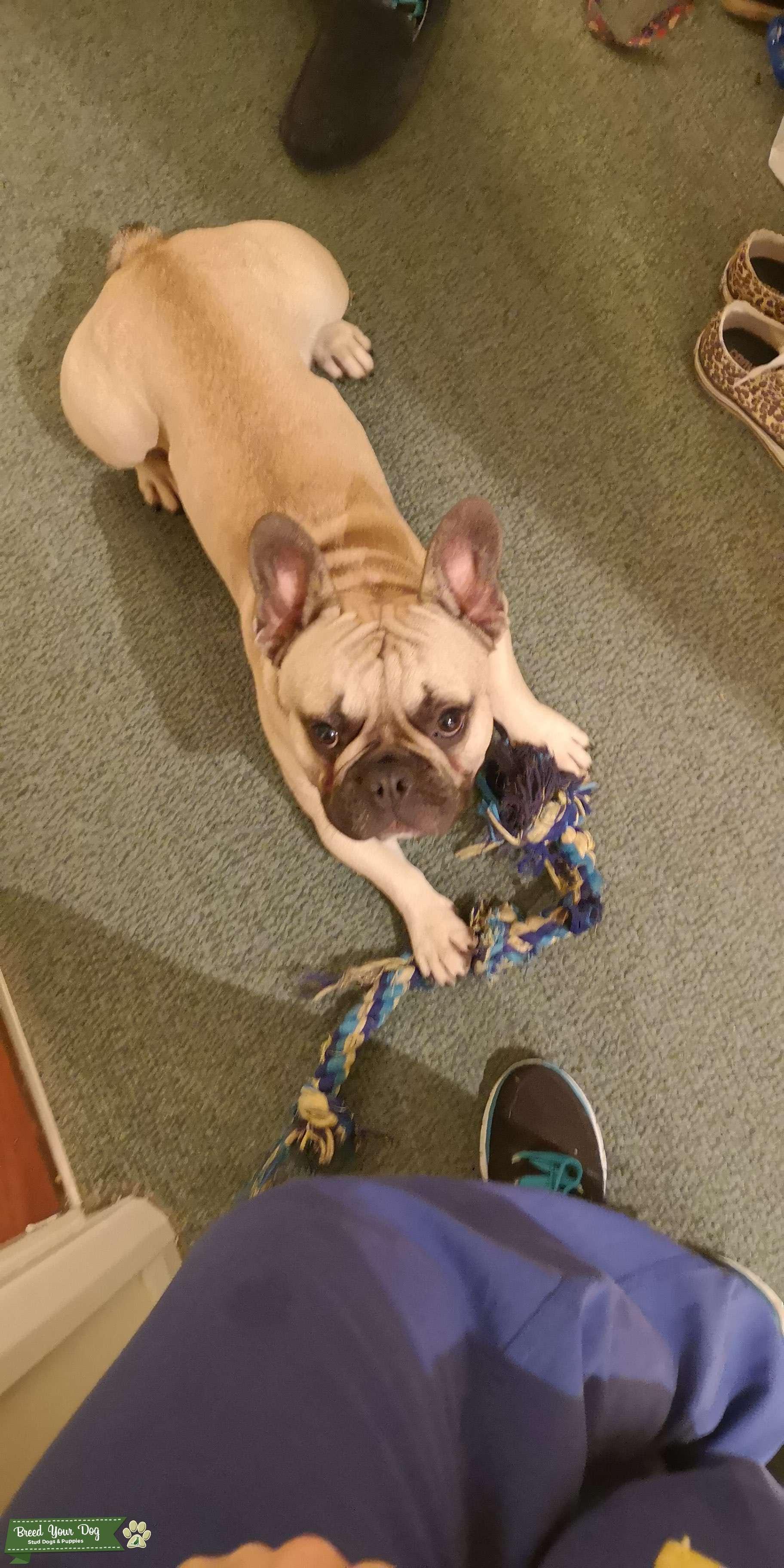 Fawn Black Mask Healthy French Bulldog Listing Image Big