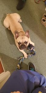 Fawn Black Mask Healthy French Bulldog Listing Image Thumbnail