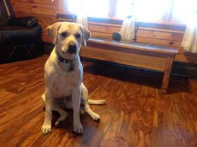 AKC certified Purebred Yellow Labrador Listing Image