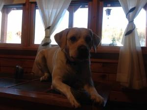 AKC certified Purebred Yellow Labrador Listing Image Thumbnail