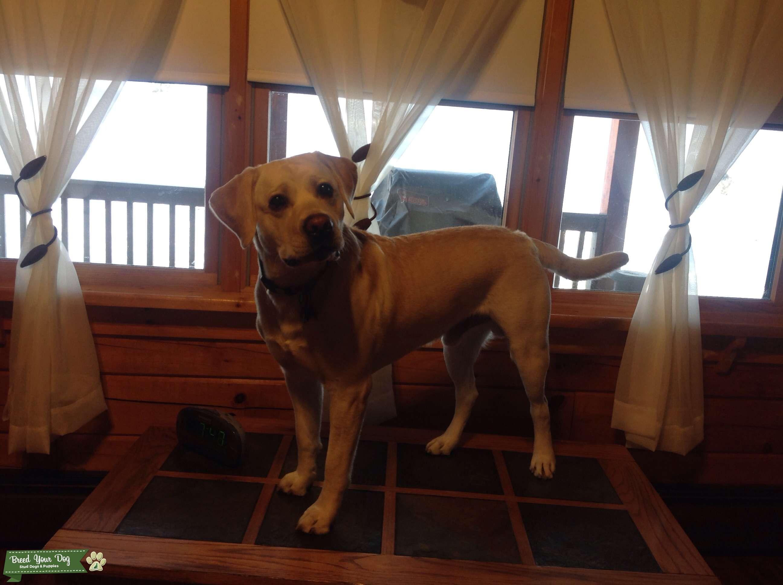 AKC certified Purebred Yellow Labrador Listing Image Big