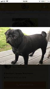 K.C Registered Black Pug Listing Image