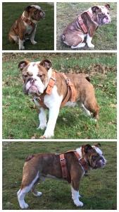 English Bulldog Stud available  Listing Image