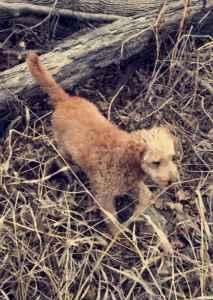 Stud Mini Goldendoodle Listing Image