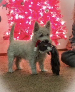 AKC Westie Male Stud Listing Image