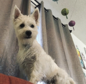 AKC Westie Male Stud Listing Image Thumbnail