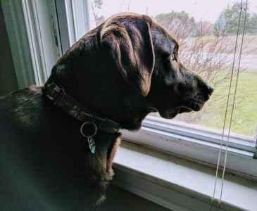 Labrador Stud Service Listing Image