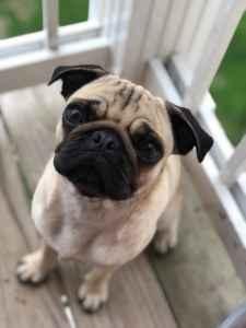 Female Pug Listing Image