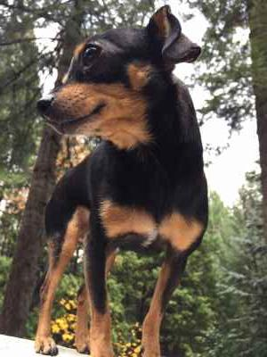 Beautiful, Tiny Black/Tan Chihuahua Bitch Listing Image