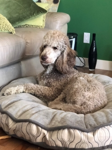 Silver Beige Tuxedo Standard Poodle Listing Image