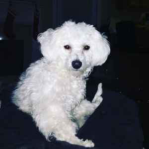 Looking for husband (Bichon Frise)  Listing Image