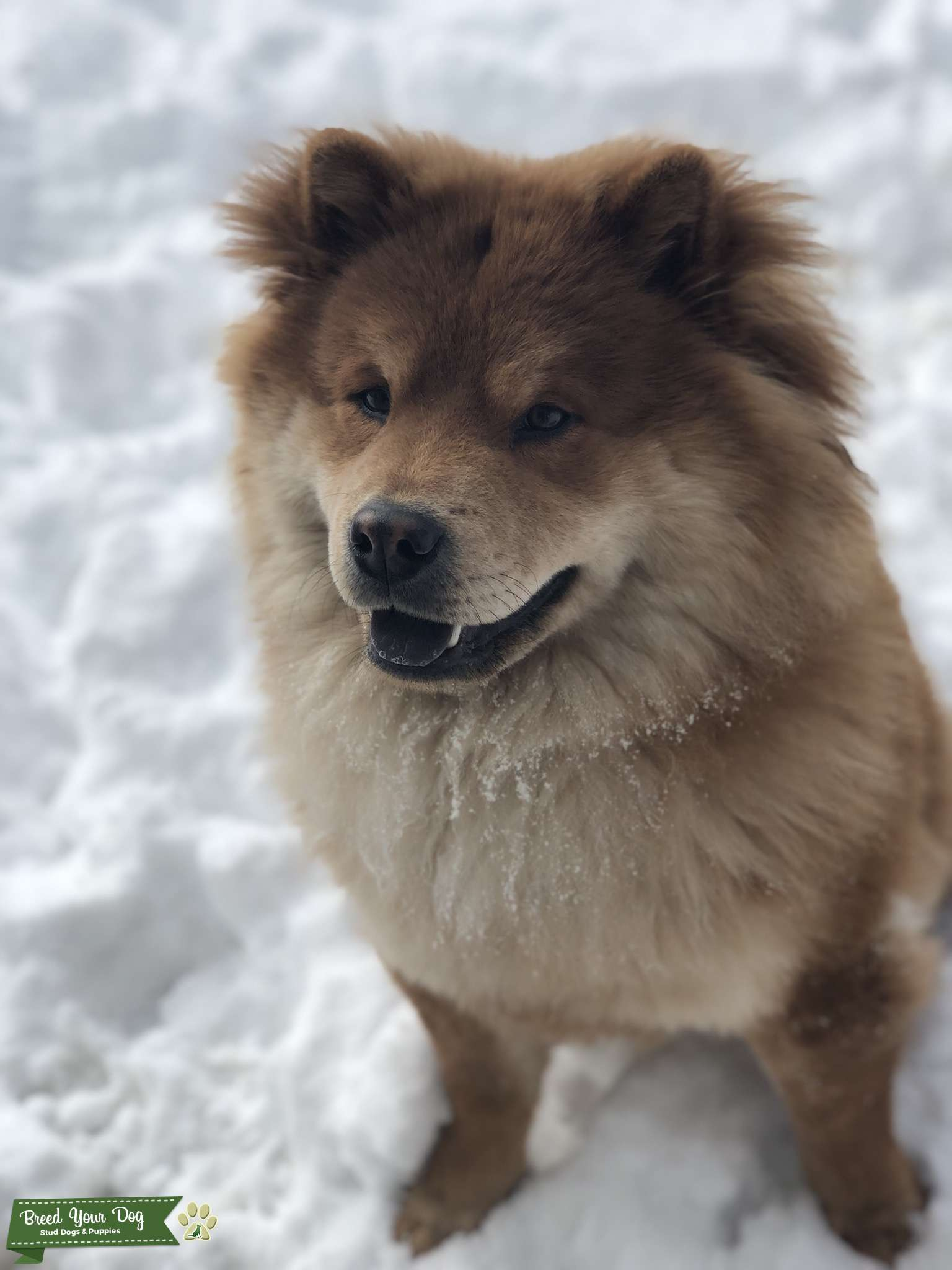 Stud Dog - Pure female chow chow looking for pure chow chow