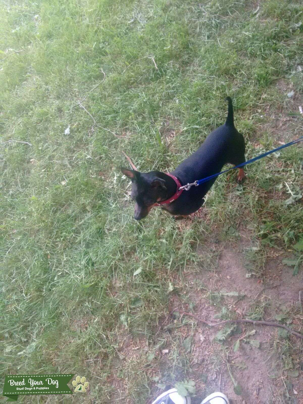 Miniature Male Pinscher looking for a female dog to breed. Listing Image Big