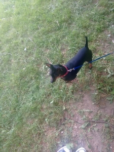 Miniature Male Pinscher looking for a female dog to breed. Listing Image Thumbnail