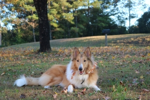 Handsome Rough Collie Listing Image