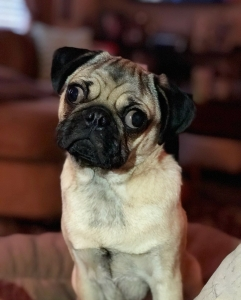 Pug Stud Available For Breeding  Listing Image