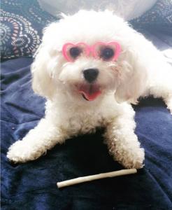 Toy Poodle White Female  Listing Image