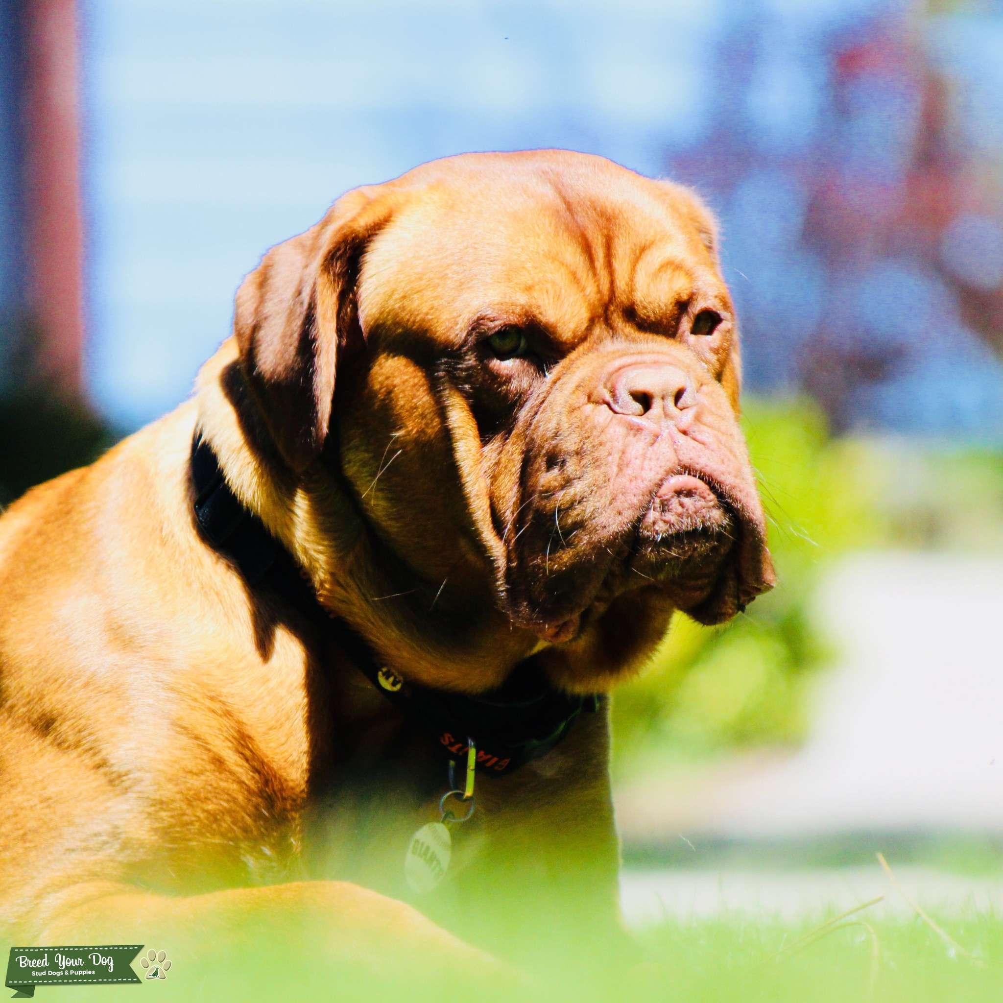 Dogue de Bordeaux Listing Image Big