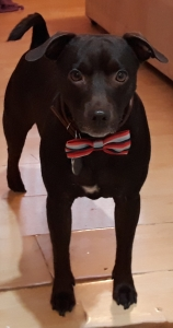 4 year old choc male patterdale terrier  Listing Image