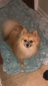 Male ( Pomeranian)  Listing Image
