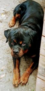 German Rottweiler  Listing Image