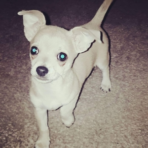 ** Fully KC reg chihuahua for Stud ** Listing Image
