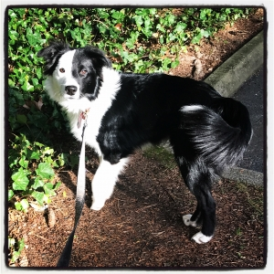 Black/White Border Collie Male Listing Image