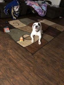 Female American Bulldog Listing Image