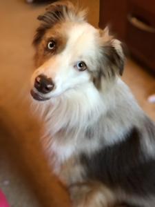Handsome Brown Merle, Miniature, Australian Shepherd Seeking  to Make Beautiful Puppies! Listing Image