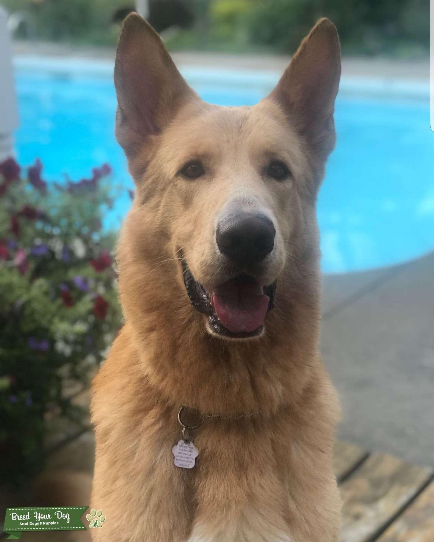 Stud Dog Blonde German Shepherd Purebred Breed Your Dog