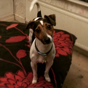 Brown, Black and white Jack Russel  Listing Image