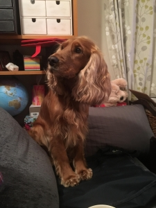 Gold Cocker spaniel  Listing Image