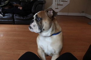 AKC Male British Bulldog Listing Image