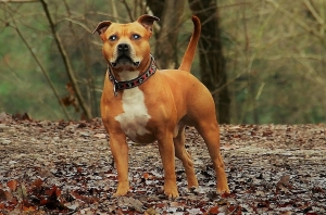 Handsome and smart Male Staffy Listing Image
