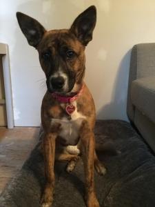 Boxer/ Australian Shepherd/ mastiff Listing Image