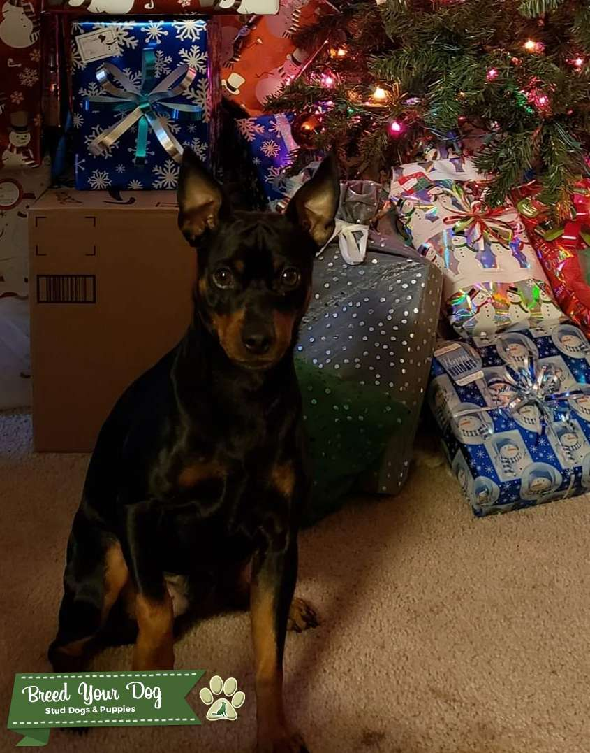 Black and Rust Miniature Pinscher Listing Image Big