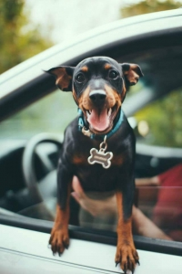 Black and Rust Miniature Pinscher Listing Image Thumbnail