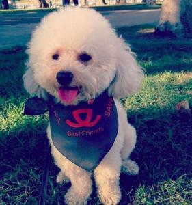 Oliver The Best Toy Poodle Stud Listing Image