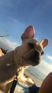 Cream French Bulldog Listing Image