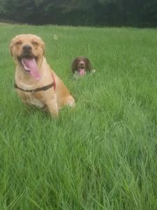Kc Reg yellow Labrador stud dog Listing Image