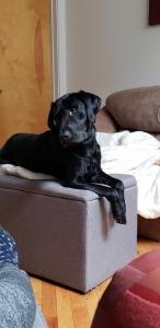 Black Labrador Retriever stud Listing Image