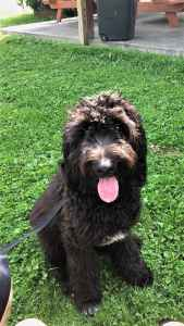 Stud Dog Black Newfoundland Poodle Breed Your Dog