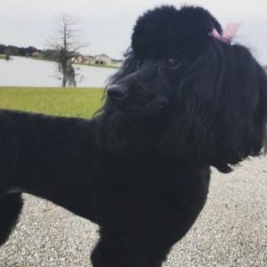Miniature black poodle Listing Image