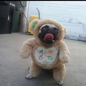 Dog Pug Needed Listing Image